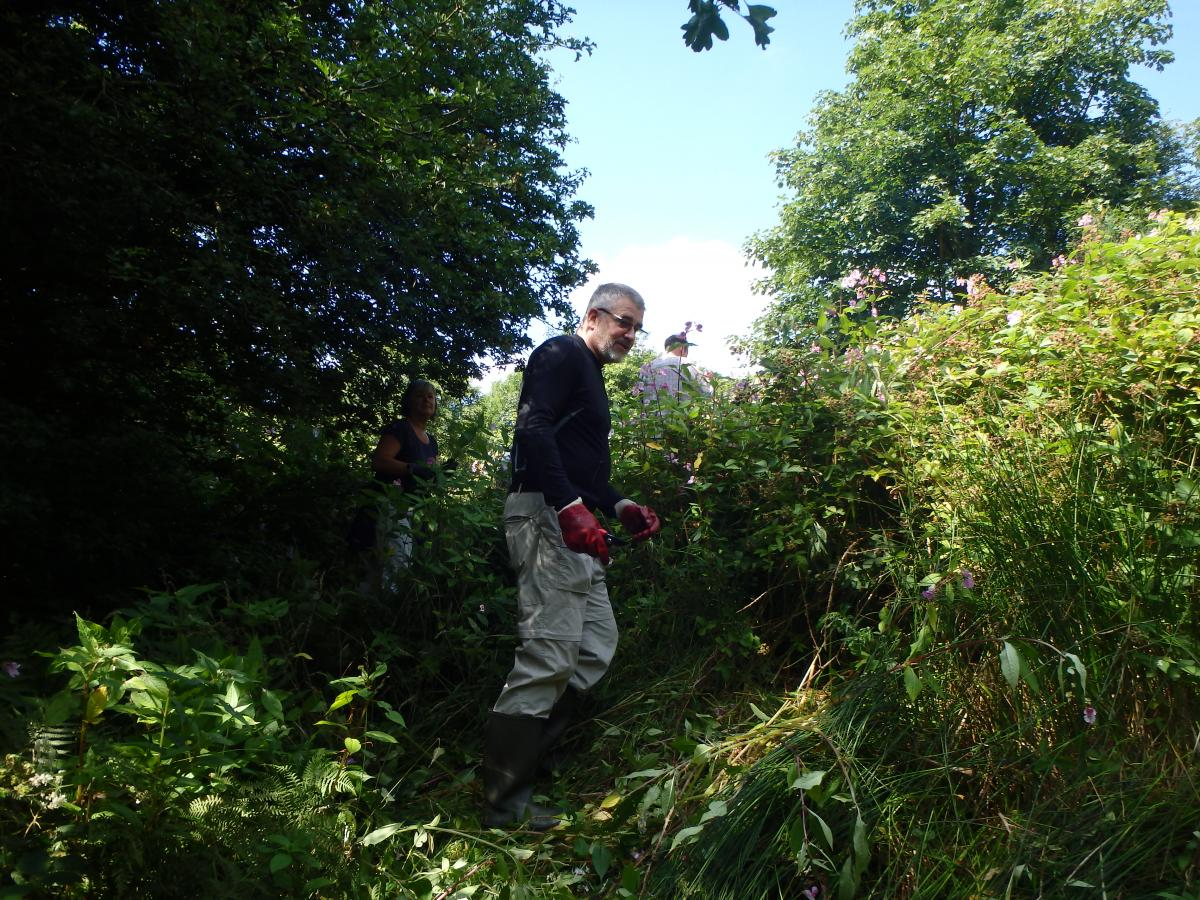 Himalayan Balsam control by volunteers