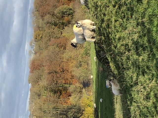 Sheep on Pixie rocks