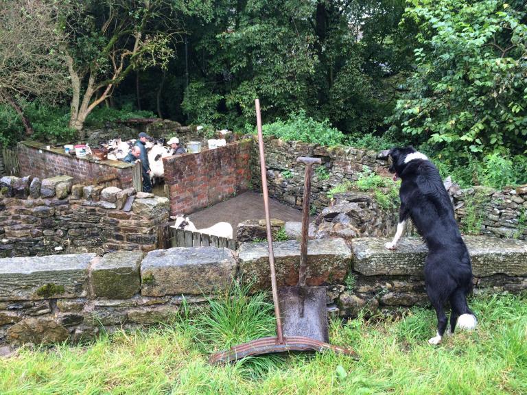 Sorting sheep at Pendleton Hall(Sarah Bolton)