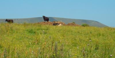Cow on a Hill with the Hill © Ray F Warren