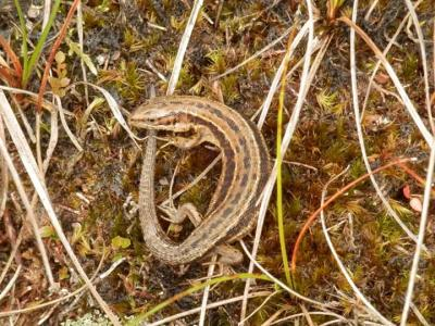 Lizard spotted on Pendle Hill